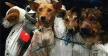 Some dogs have been saved from the slaughterhouses today in Yulin, China.